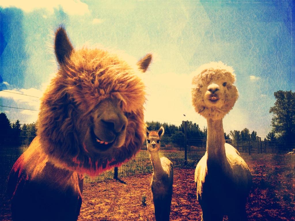 alpacas-new-wallpaper-4